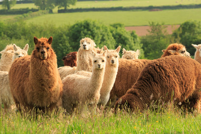 alpacas at Middle Stone Farm glamping and holiday cottages.